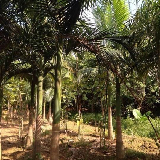 假檳榔(桿高4米)