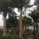 国王椰子杆高4米