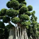 造型小叶榕桩头