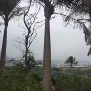 国王椰子杆高5米