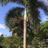 狐尾椰子(杆高4米)