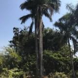 大王椰子(杆高7米)