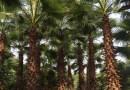 杆高5米老人葵(华棕)
