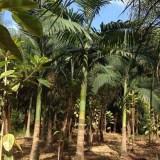 假槟榔(杆高3米)