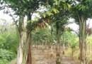 鱼尾葵杆高2米