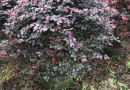 红花继木球(高度1米)