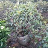 红叶石楠球(冠幅60厘米)