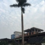 大王椰子(杆高6米)