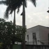 杆高8米大王椰子