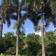 狐尾椰子(杆高5米)