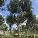 米径15公分黄花风铃木价格 黄花风铃木种植基地