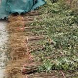 花椒苗价格大红袍花椒苗价格基地直供大红袍花椒苗