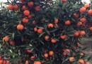 世纪红柑橘苗
