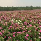 食用玫瑰苗木供应