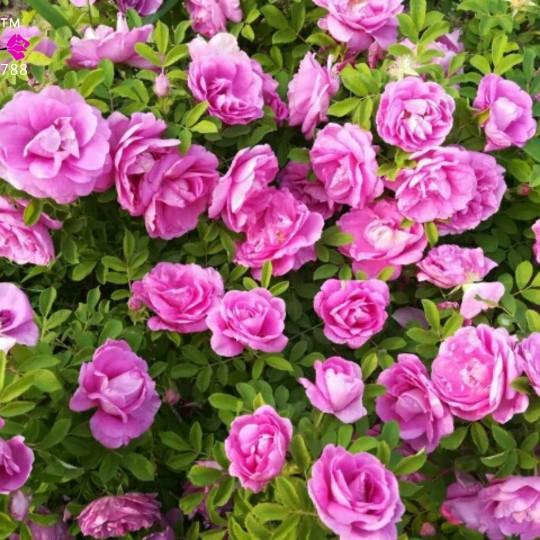 四级清香型玫瑰