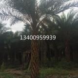 中东海枣,中东海枣种植基地,杆高2米