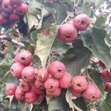 泰安甜红子山楂树苗