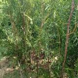 荒山造林用侧柏树苗多少钱一棵