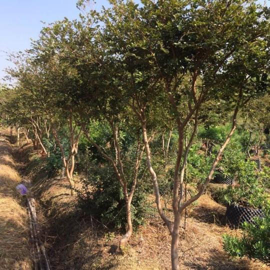 臺灣嘉寶果樹