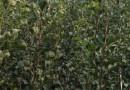 甜果山楂苗价格(甜红子)佳园苗圃批发直销甜红子山楂树苗