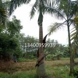 大王椰子,大王椰子基地直销(杆高6米)