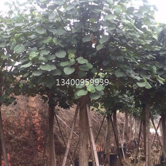 黃槿,黃槿自產自銷(高度4米)