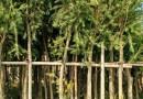 火山榕场地批发 高度2米5
