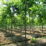 榉树价格_8公分榉树价格