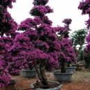 紫色三角梅,三角梅桩景  ,三角梅造型,盆栽(高度1米5)基地直销
