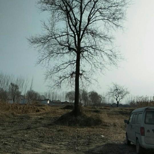 百年杜梨樹