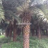 中东海枣,中东海枣采购中心,杆高3.5米