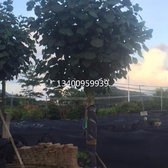 黃槿,黃槿質優價廉—高4米