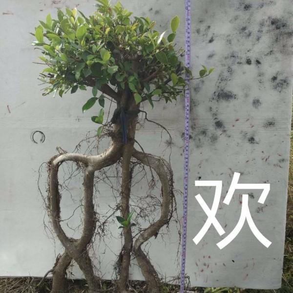 艺术造型字型榕树盆景盆栽