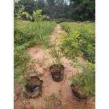 大量供应四季玫瑰营养钵苗 绿化苗