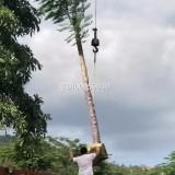 凤凰木(米径15公分)