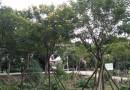 黄花槐(米径8公分)