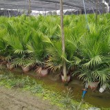 国王椰子(高度1米)