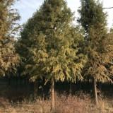 12-15公分精品中山杉