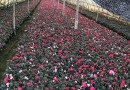 红花继木桩精品价格
