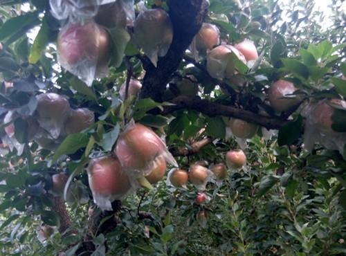 苹果树苗价格柱状苹果树苗价格新品种苹果苗最新价格苗圃直销