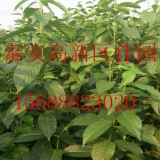 药用杜仲树苗价格1年生杜仲树苗多少钱一棵苗圃批发直销杜仲树苗