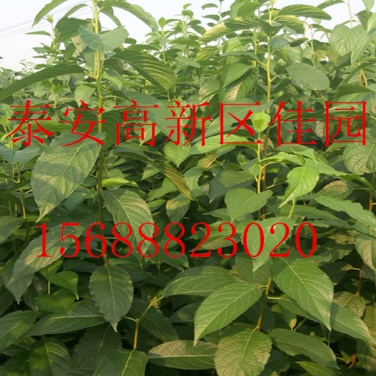 藥用杜仲樹苗價格1年生杜仲樹苗多少錢一棵苗圃批發直銷杜仲樹苗