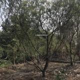 脆桃-高度3米,冠幅3米