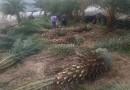 中东海枣-杆高1米