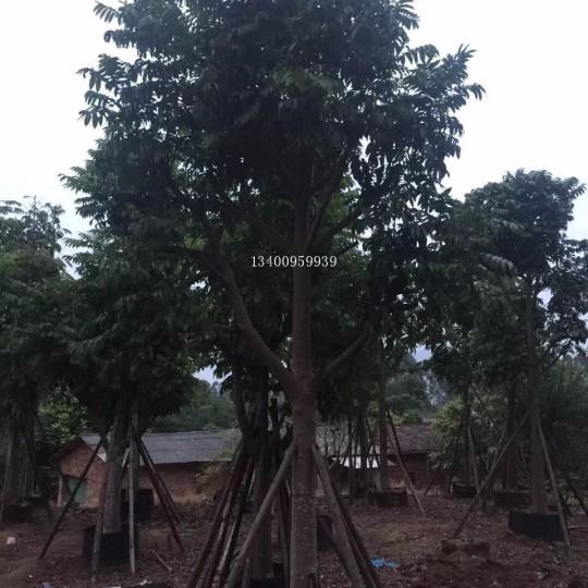 仁面子樹-米徑15公分