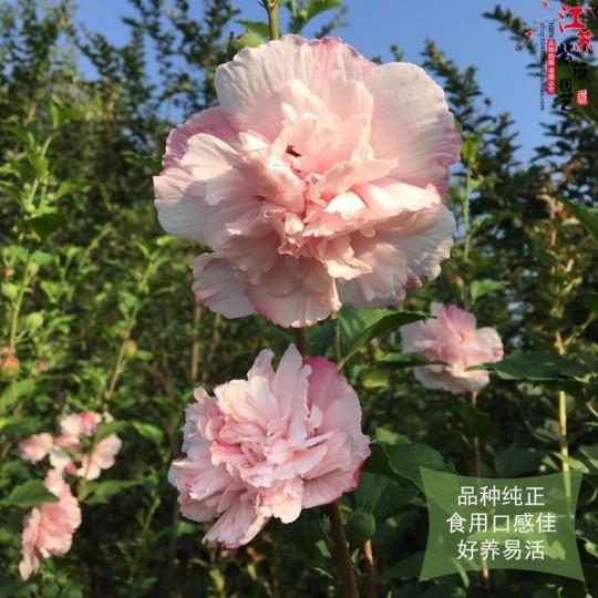 食用花卉粉色木槿