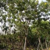 黄花槐-米径8公分
