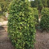 垂叶榕-高度2米