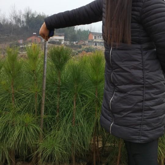 兩年生長濕地松樹苗