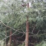 8公分柳杉